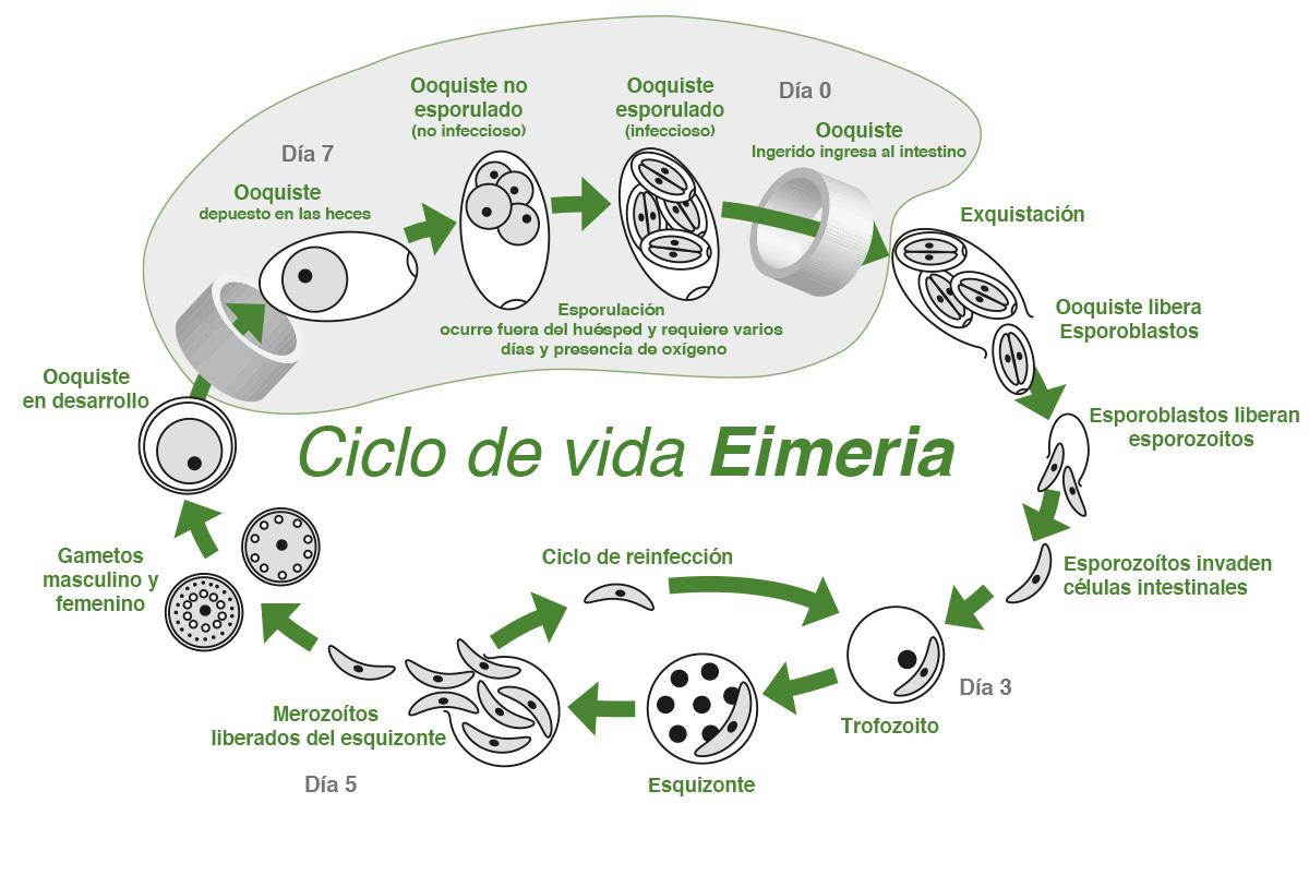 Ciclo de vida Eimeria